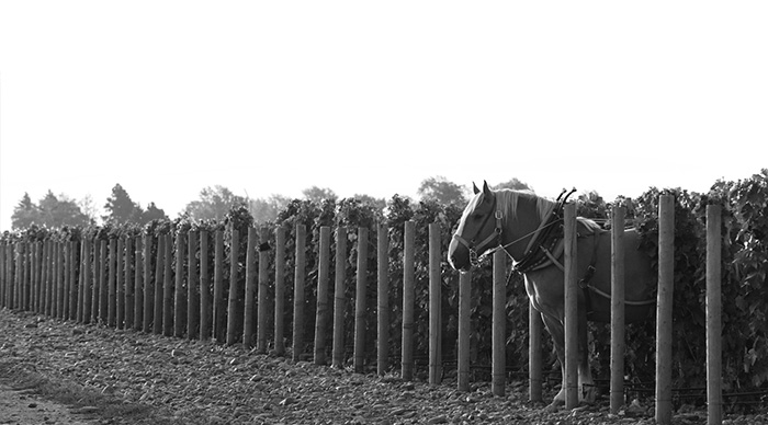 Zeppo heads out of the vineyards after plowing