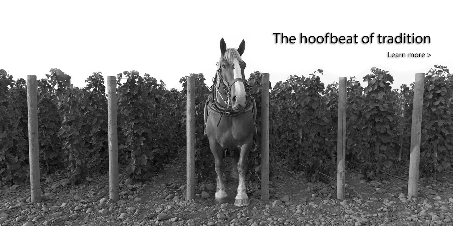 Zeppo, one of the Belgian heavy draft horses that cultivates Horsepower's biodynamic vineyards at Tribe Vineyard.