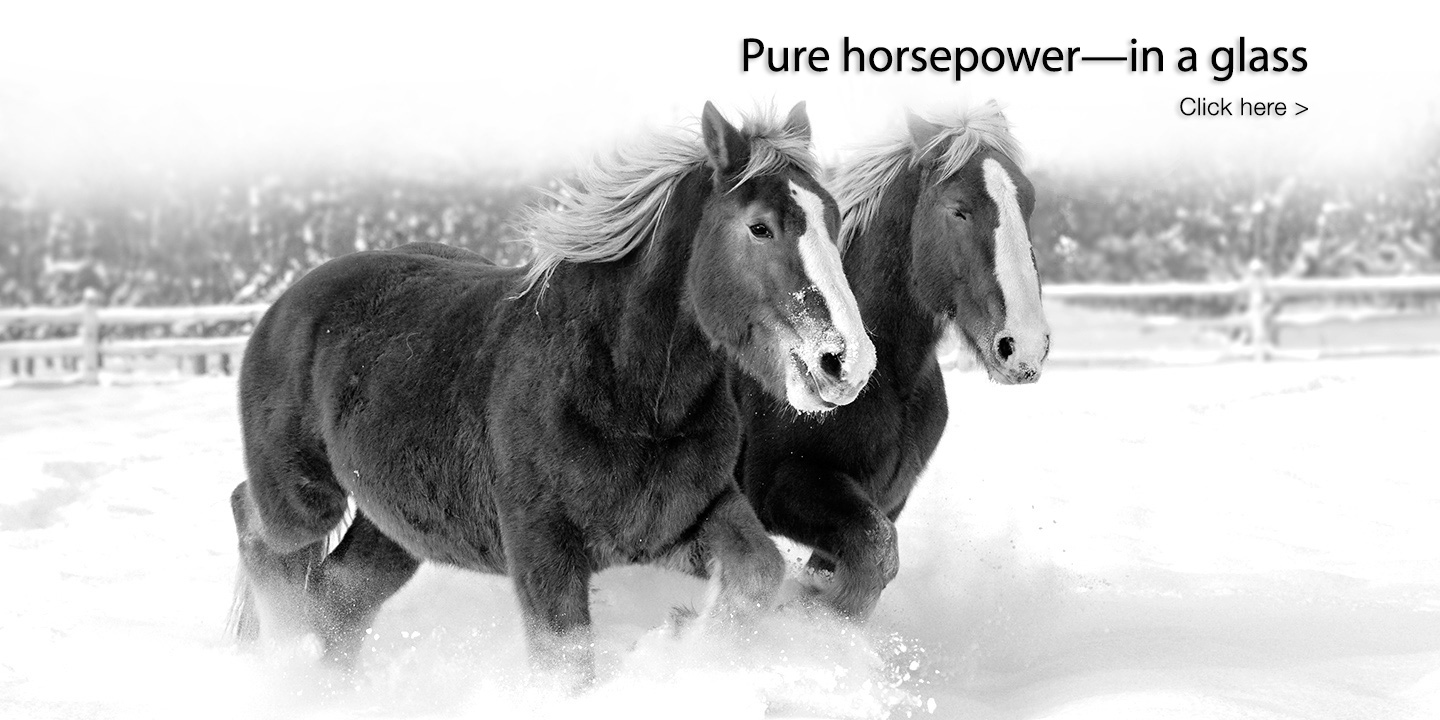 Red and Zeppo, Horsepower Vineyards' Belgian heavy draft horses, running in the snow.