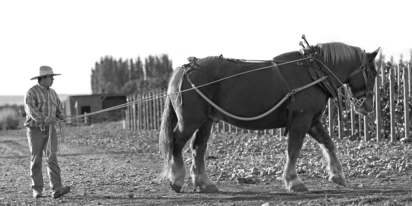 Zeppo heads to the corral after a day of plowing at Horsepower Vineyards.