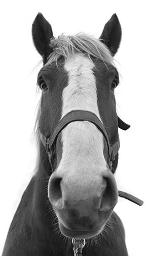 Red, one of Horsepower Vineyards' draft horses.